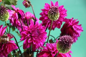 photo dahlias Sophie Plouvier