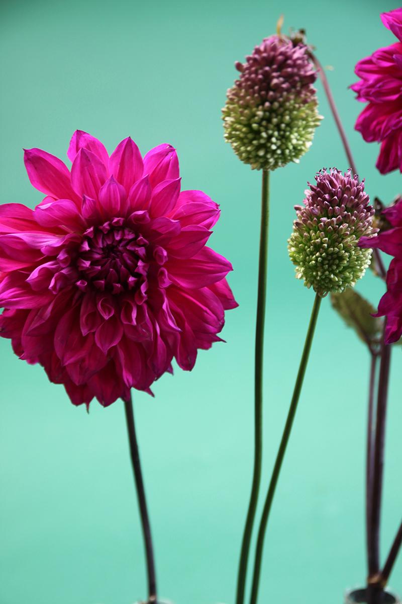 Le dahlia rose