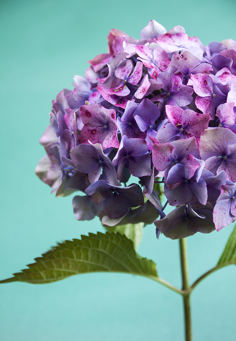 photo hortensia Sophie Plouvier