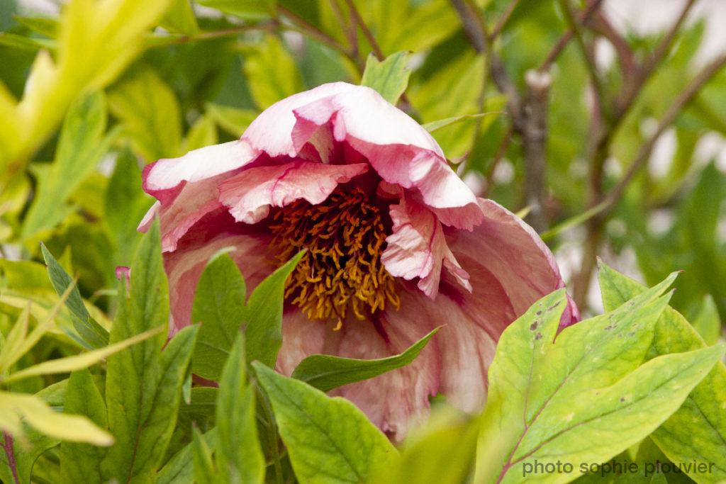 photo fleurs Giverny - Sophie Plouvier