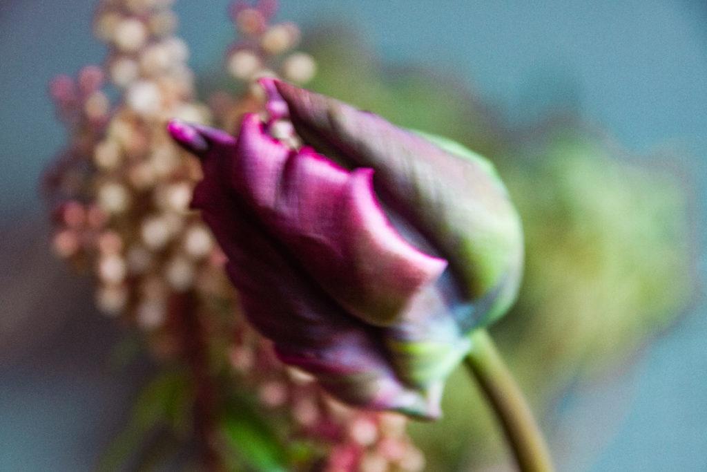 tulipe - photo Sophie Plouvier