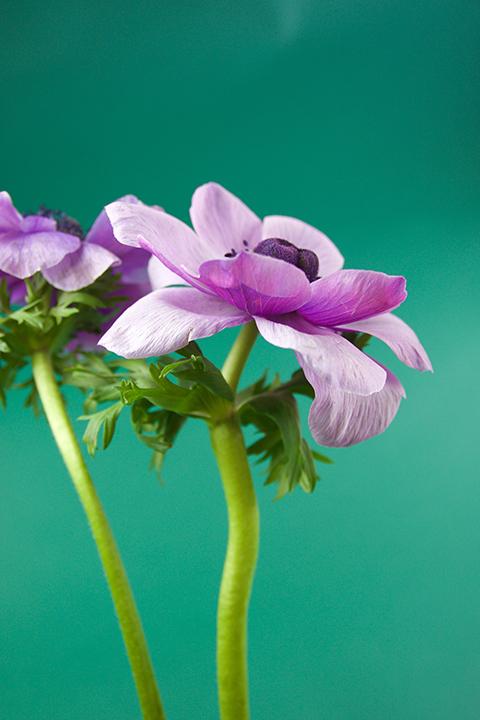 Anémones, fleurs du jour